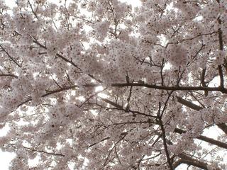 160405-sakura-05.jpg