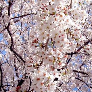 sakuraP4020041.jpg