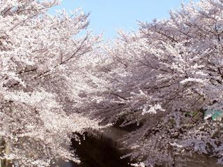 sakuraP4020062.jpg