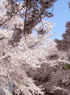 sakuraP4020066.jpg